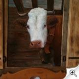 Vache en tête de lit